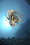 Common Lionfish and sun