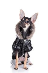 Dog of fashion