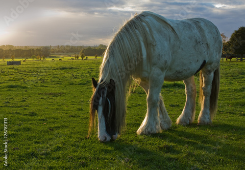 horse grazing in meadow