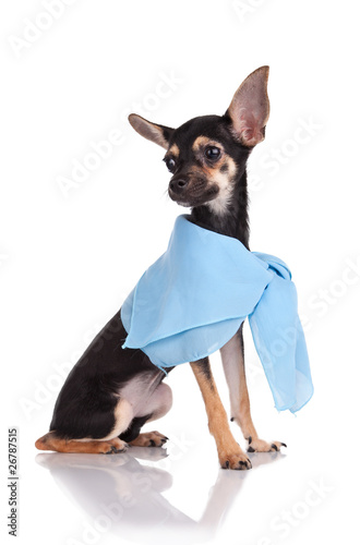 Small dog toy terrier In a kerchief  isolated on white