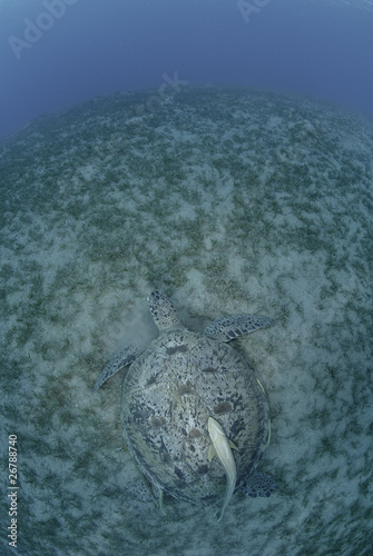 Green turtle on a bed of seagrass