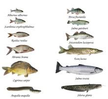 Ryb z rzek i jezior