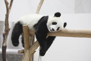 休む子供のパンダ
