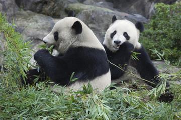 食事をする兄弟パンダ