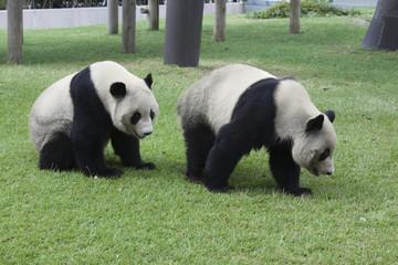 兄弟のパンダ