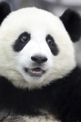かわいい目のパンダ