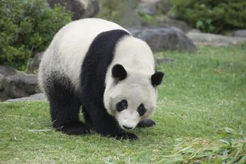 パンダの全身