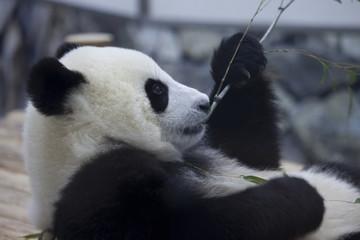 リラックスしているパンダ