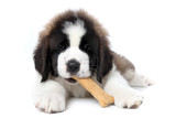 Saint Bernard Puppy Enjoying a Treat on White Background