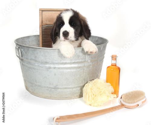 Saint Bernard Puppy in a Washtub for Bath Time