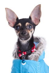 Small dog of fashion