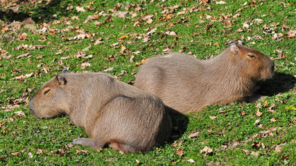 capibara water hog