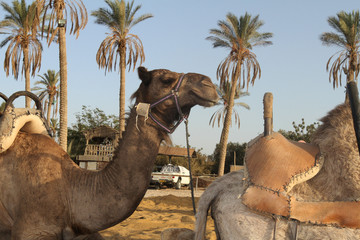 domestic camel sitting