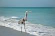 Great Blue Heron on a Gulf Coast Beach