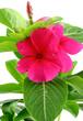 catharanthus roseus, pervenche rouge de Madagascar