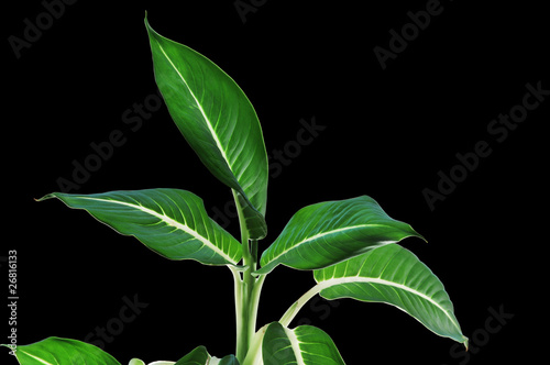 Dieffenbachia. Leafs in black background