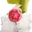 Mokry tulipan