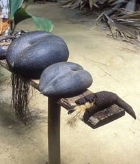 coco-de-mer, Vallée de Mai, Praslin, Seychelles