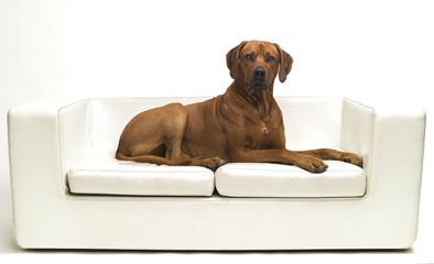 ridgeback auf sofa