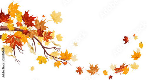 Maple leaves - 26830349