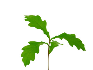 Young sprout oak. Isolated leaves.