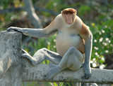 male adult probiscis monkey, borneo, south east asia poster