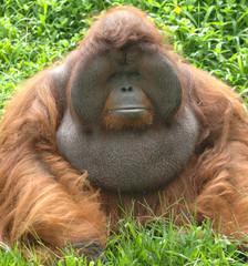huge male orangutan monkey, borneo, south east asia orange monke