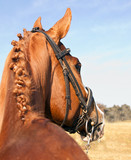 Portred of brown horse from behind with braided mane poster