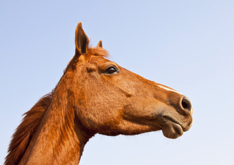 Portrait of brown horse from below against blue sky