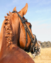 Portred of brown horse from behind with braided mane