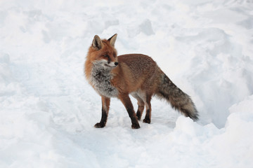 Red fox on the snow.