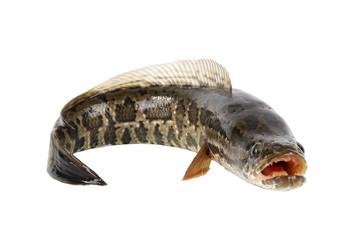 ferocious snakehead