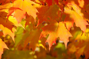 Golden Autumn Leaf Cover