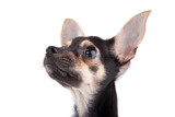 small doggy look upwards  (Russian toy terrier) on white poster