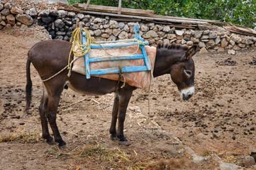 Griechischer Esel auf Karpathos