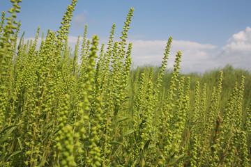 Ragweed field