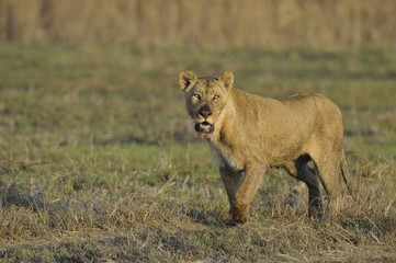 A portrait of a lioness with a blood-stained mouth.