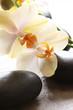 orchidée beige