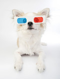 chihuahua with 3d glasses lying over white background