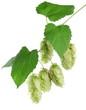 branch of hops.