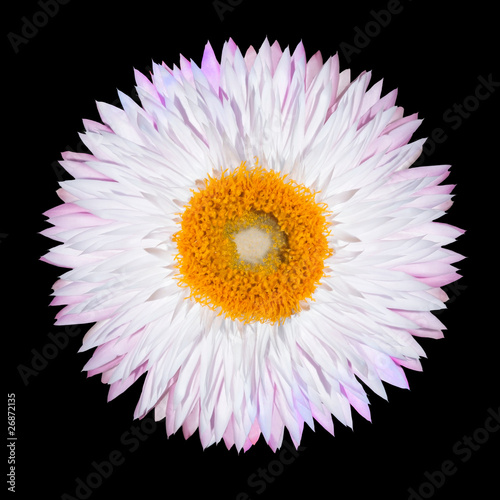 Pink White Strawflower Flower Isolated on White