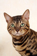 head of bengal cat