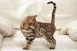 chaton bengal explorant le canapé