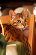 jeune chat bengal sur une chaise