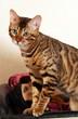 bengal cat on profile