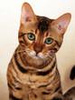 portrait de chat de face - bengal