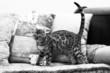 chat du bengal debout sur le canapé