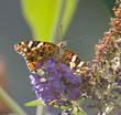 Painted Lady from Front