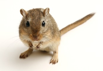 Brown gerbil