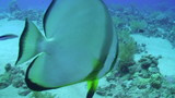 Batfish on a cleaning station